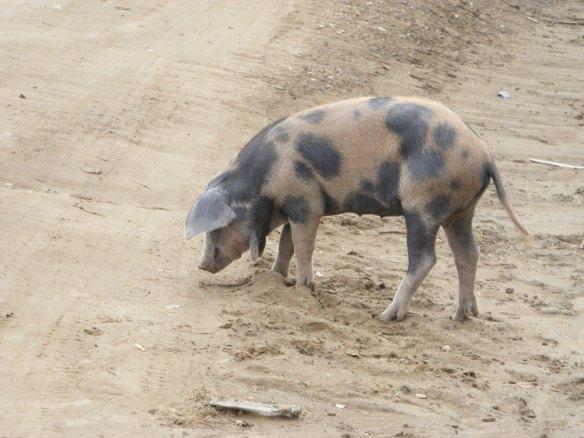 Piglet in Paradise